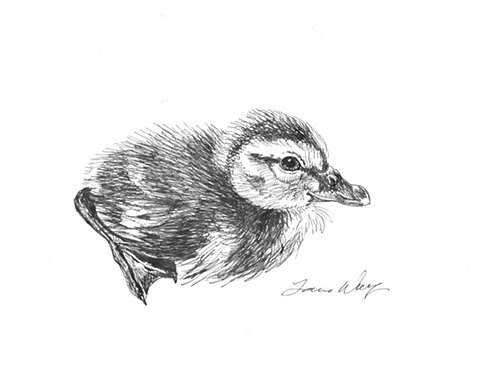Wolf - Mallard Duckling