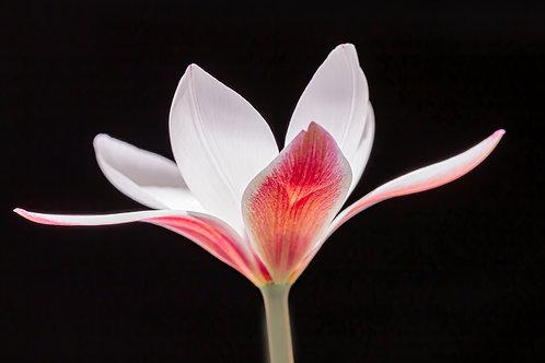 Markowski - Peppermint Stick Tulip