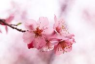 beautiful-cherry-blossom.jpg