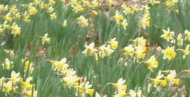 WI Centenary Daffodil planting