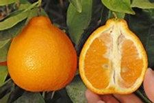 Minneola Tangelos Organic - per lb