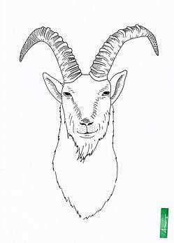 Steinbock_AnneBlaich_Zeichnung.jpg