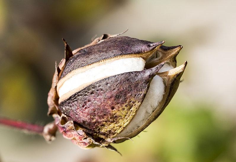 cotton-flower-1820379_960_720.jpg