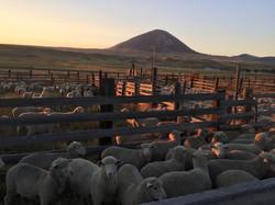 better sheep