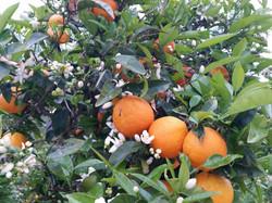 sinaasappels in de tuin