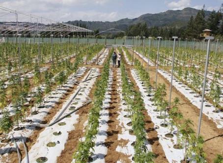 Cultivo de canábis vai criar 750 empregos em Portugal