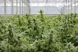 Cannabis Portugal
