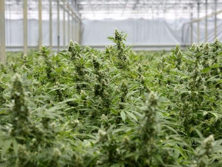 Médicos só vão poder prescrever cannabis se outros medicamentos não tiverem tido efeito