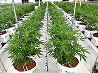 Quantung  Portugal Cannabis Exportis.jpg