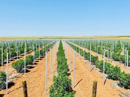 Maior plantação europeia de Cannabis medicinal fica em Portugal
