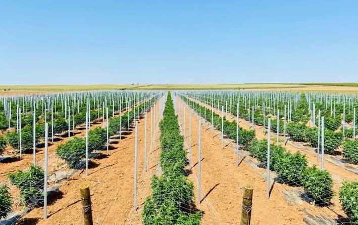 Quantung Exportação de Cannabis Medicinal Portugal