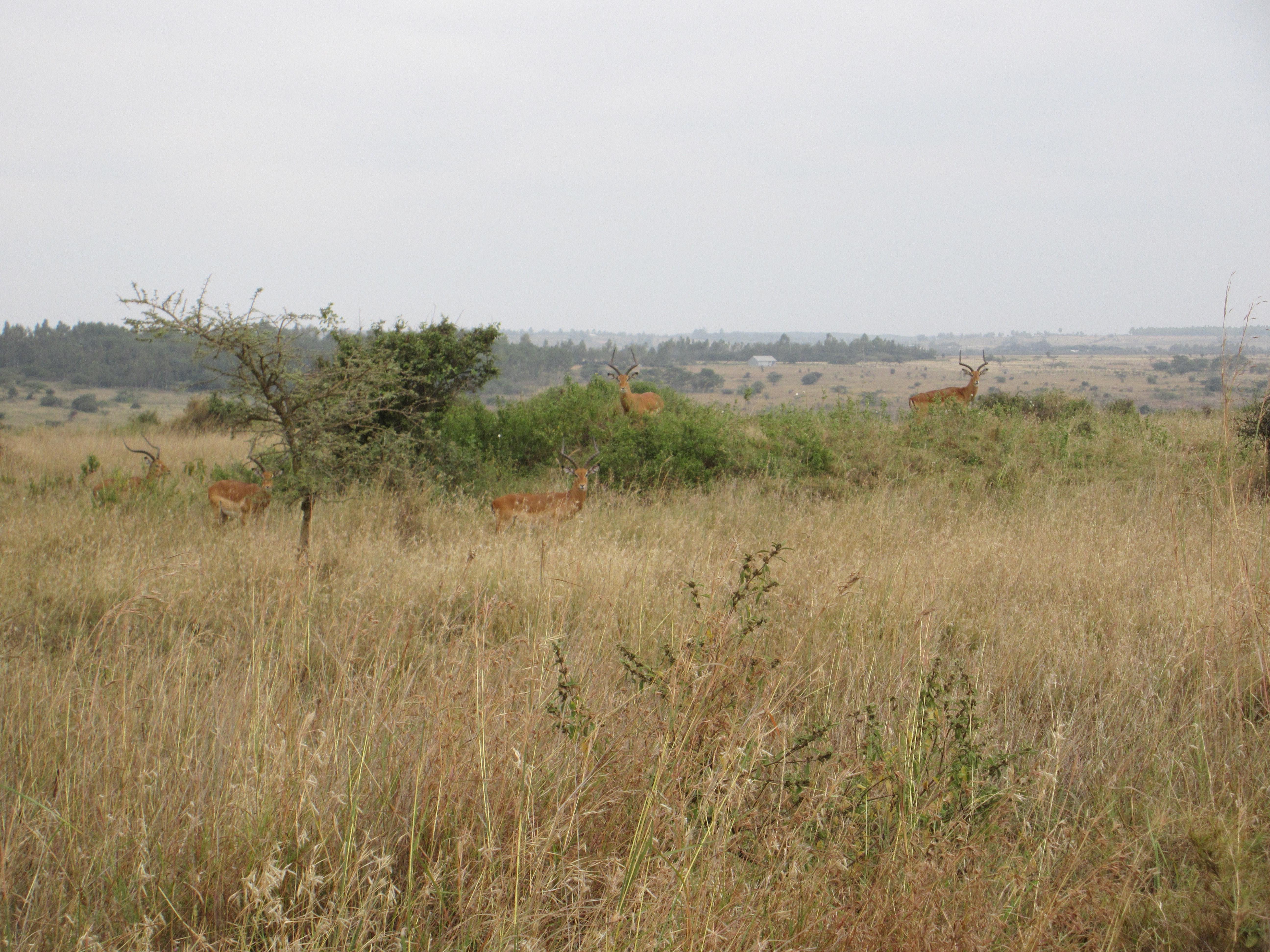 Kenya Grasses