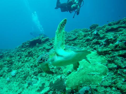 Diving - Green Turtle.jpg