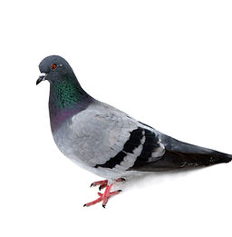 aviaway pigeon.jpg