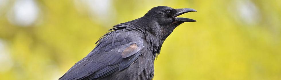 aviaway crows.jpg
