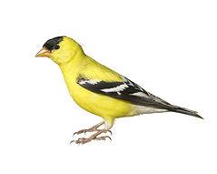 American Goldfinch NJ State Bird Control