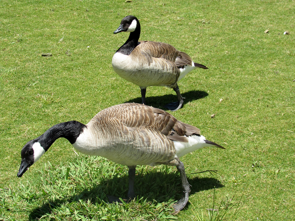 Geese Control