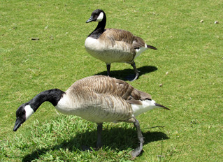 Migration of Canada Geese and Associated Problems