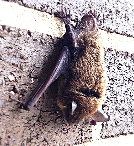 The Public Health Concern of Bats