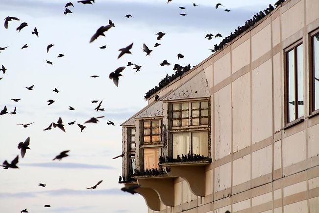 aviaway starlings.jpg