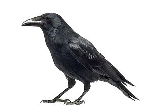 aviaway crow.jpg