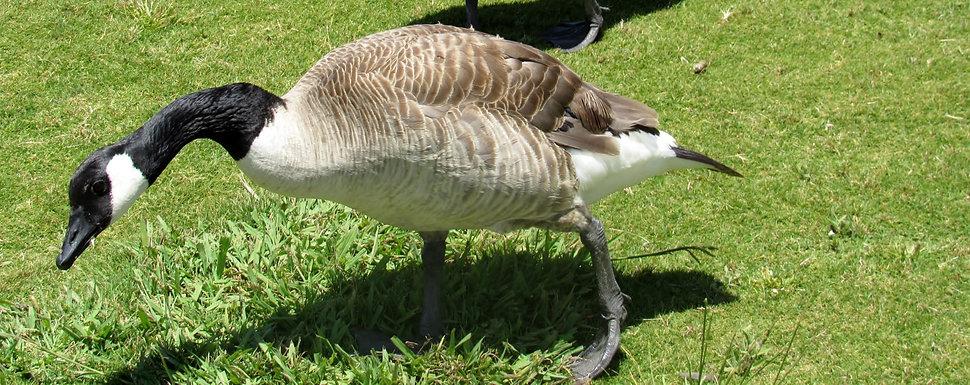 aviaway geese.jpg