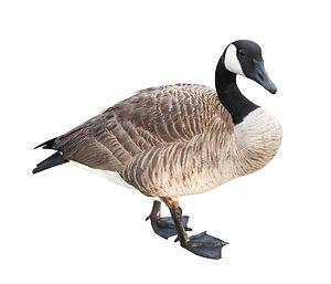 aviaway goose.jpg