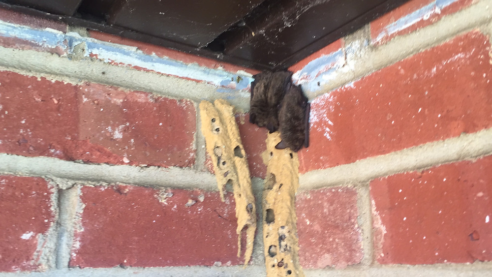 Bat Removal New Jersey