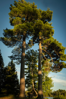 A Pair of Pines