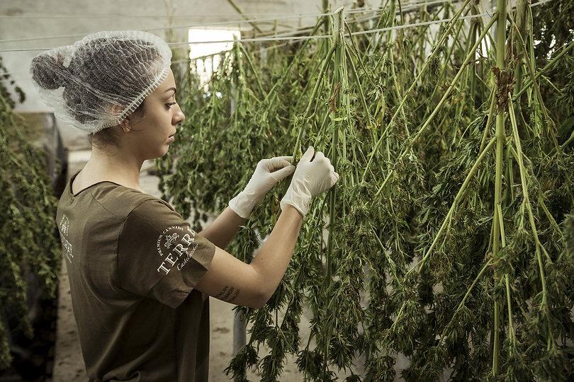 cannabis-4688511_1920.jpg