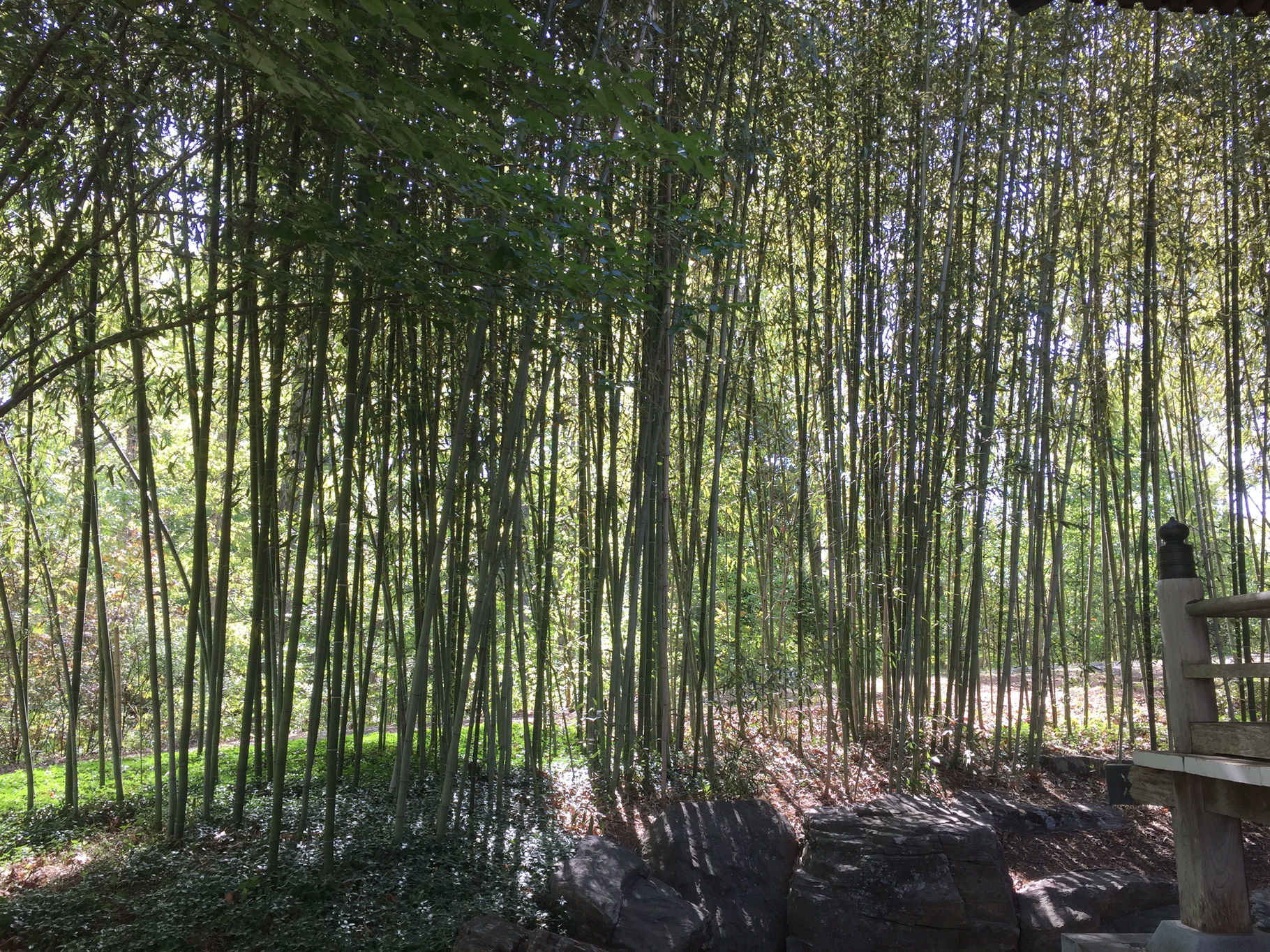 Bamboo growing at the Place of Peace