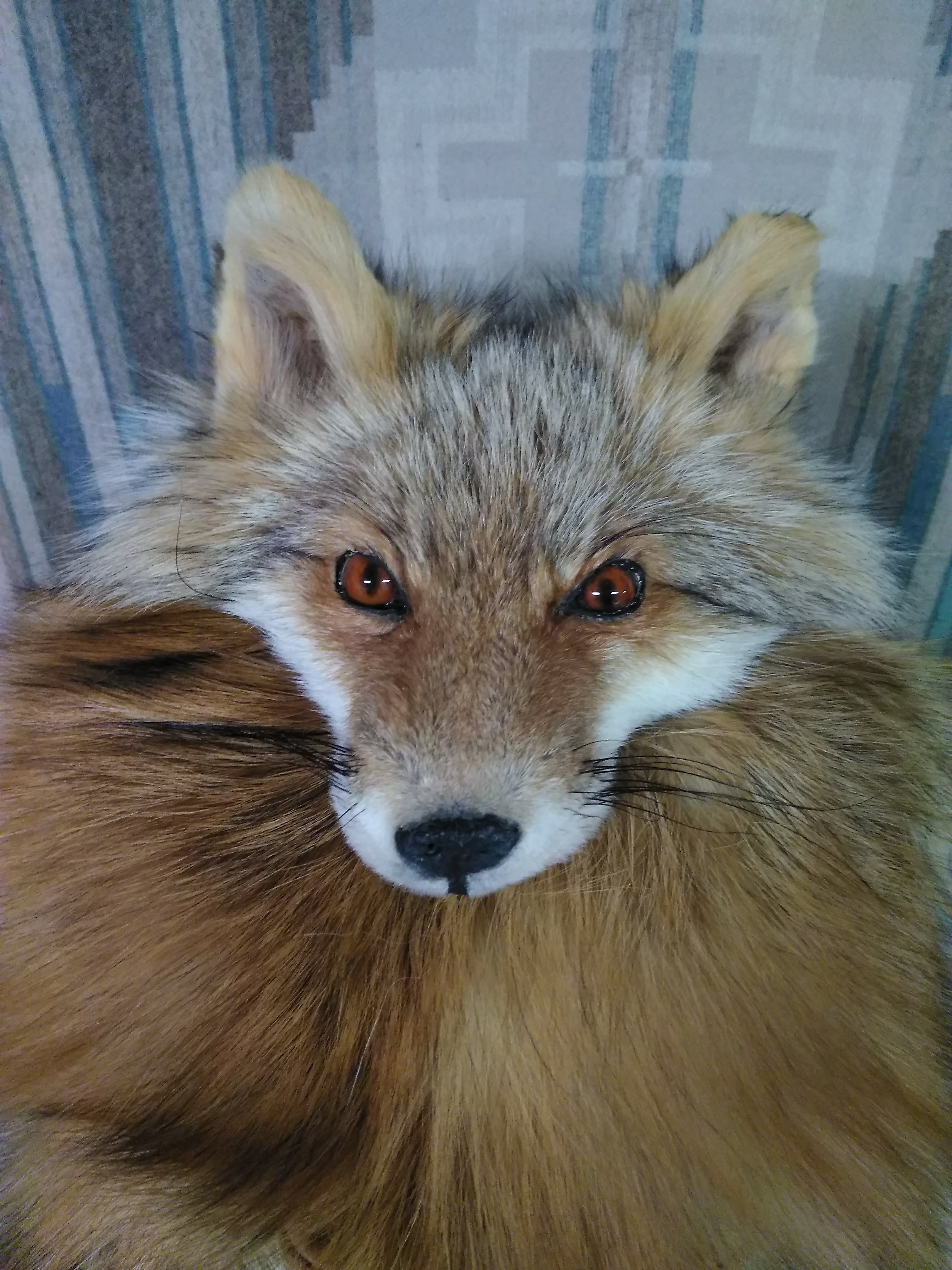 Kodiak Red Fox