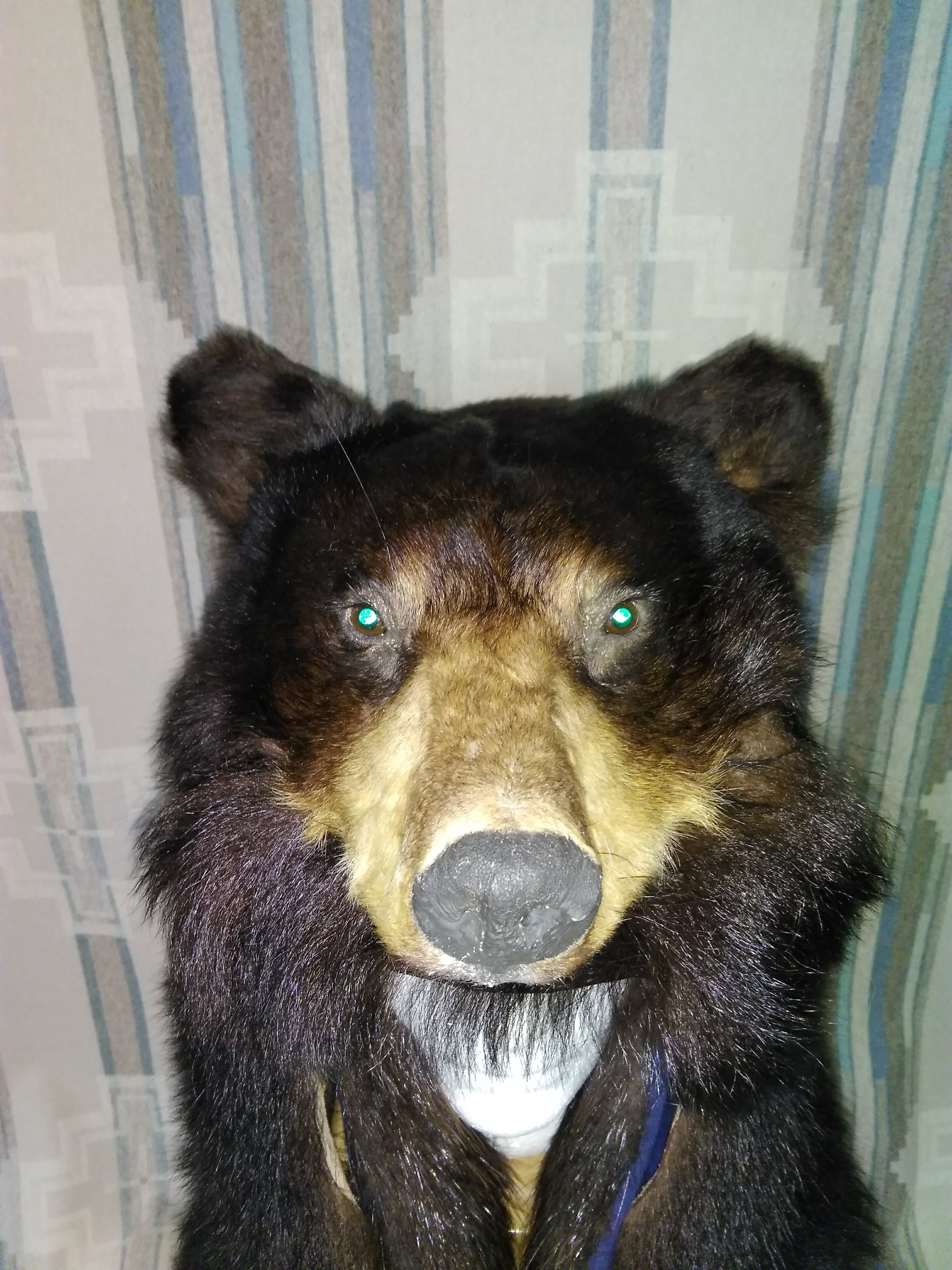 Black Bear w/ reflective eyes