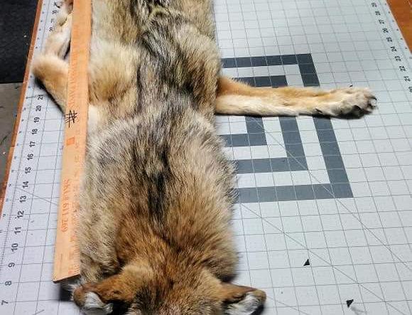 Mountable coyote hide