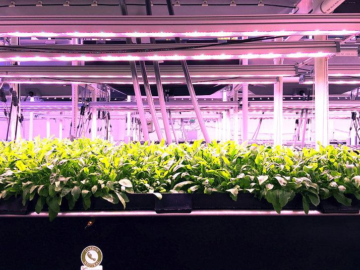 Eclairage LED Valoya pour aléliorer la physiologie des plantes et contrôler la floraison