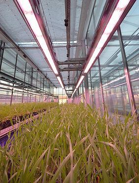 Eclairage LED pour optimiser la culture de végétaux sous serre plastique ou verre