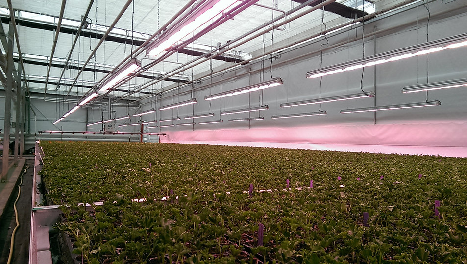 Led lighting of Valoya in a greenhouse