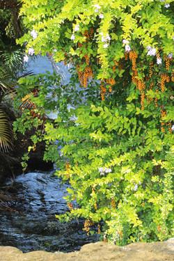 Duranta over the stream