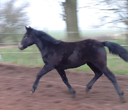 Trinityhouse Maybel Connemara Filly For Sale