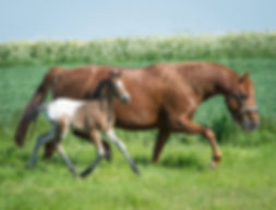 Trinityhouse Tumbling Dice 2018 Knabstrupper Pony Colt For Sale
