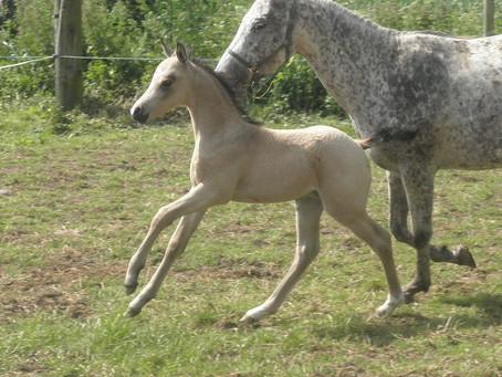 Lilly foals a buckskin colt!