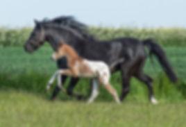 Trinityhouse jailbreak 2018 Knabstrupper Pony Colt