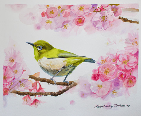 Mejiro - Japanese white eye & cherry blossoms
