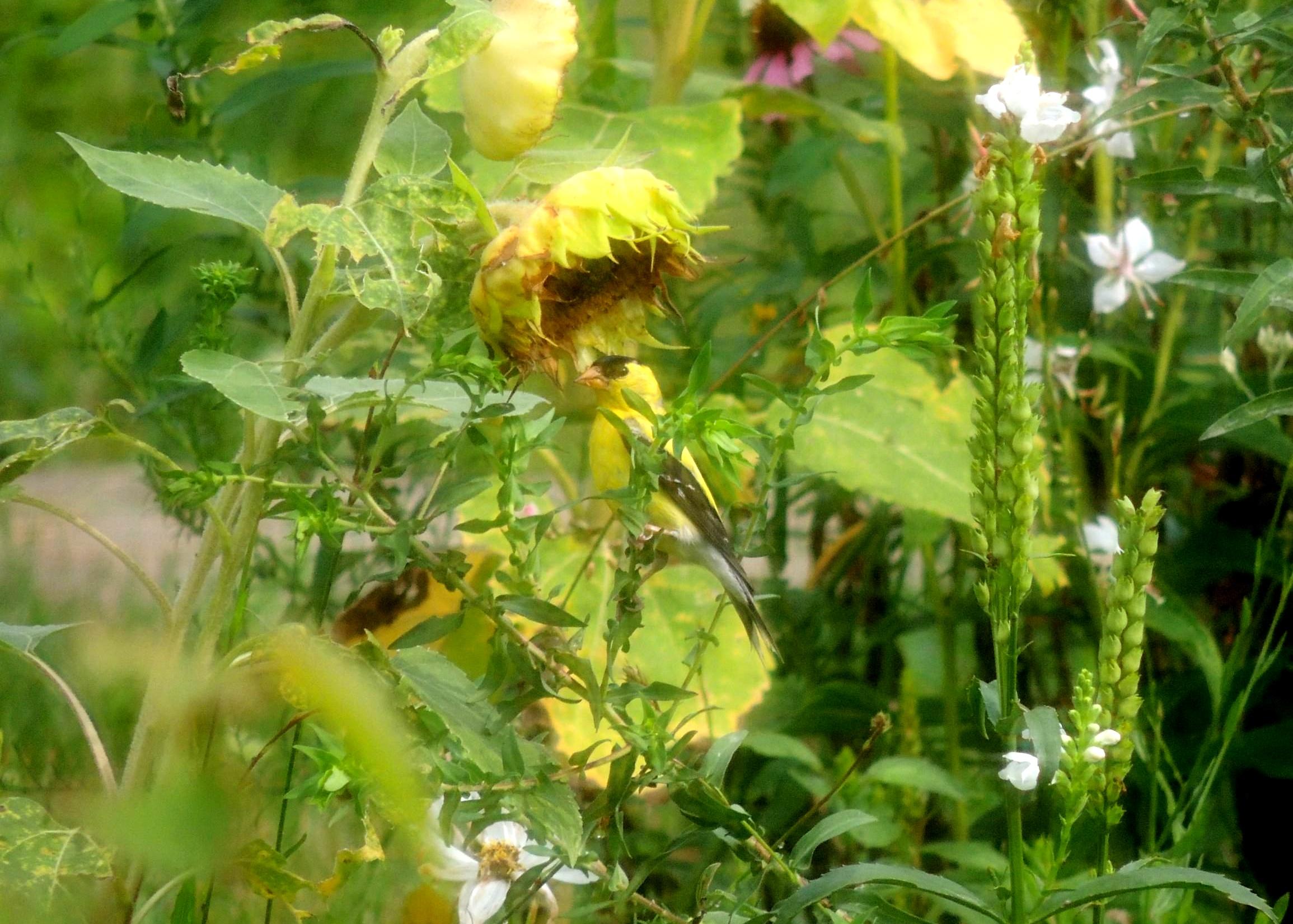 Farmer Goldfinch