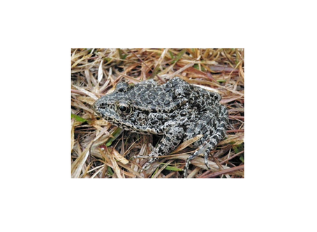The Supremes and the dusky gopher frog