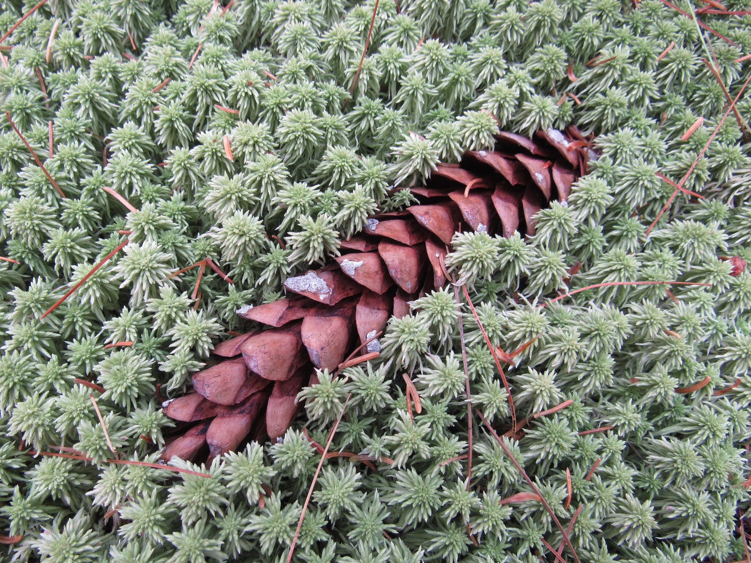 Moss cradles cone