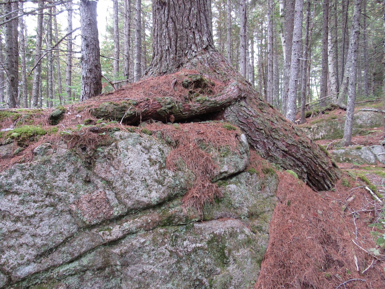 Stone Pine near camp 1