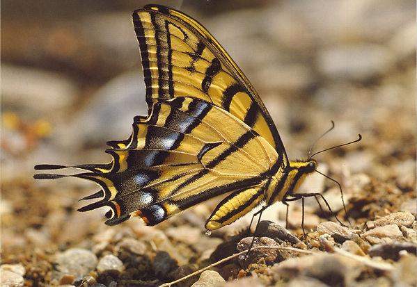 Tiger swallowtail ~ 1988.jpg