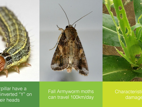 The Fall Armyworm (FAW) and its Control in ASEAN
