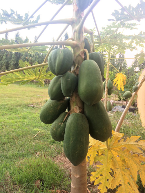 Eyeing the papaya already.One was felled by strong winds.